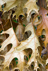 29 Jul 2011:  brown oak leaves still cling to a branch that has been blown over and is dead at Comlara Park in McLean County Illinois, USA