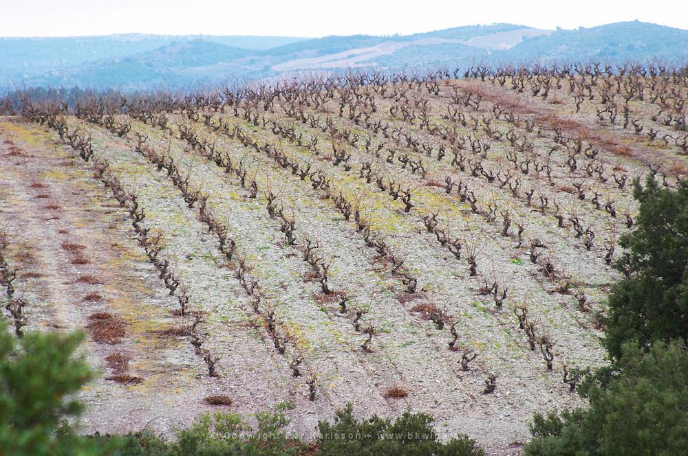 Vines on The Pech Bedet mountain hill between Embres et Castelmaure and Villeneuve les Corbieres on the border between Fitou and Corbieres. Les Corbieres. Languedoc. Vines trained in Gobelet pruning. France. Europe. Vineyard.