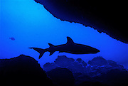 Whitetip Reef shark cruises by the opening of a cave off the coast near Makena, Maui.