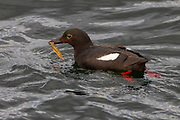 A pigeon guillemot (Cepphus columba) feeds while resting on the water of Puget Sound near Edmonds, Washington. The piegon guillemot is found on coastal waters of the North Pacific and dives to feed on small fish and marine intervertebrates that it finds near the sea floor.