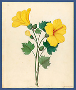 Hibiscus [Hibiscus calyphyllus] (1817) from a collection of ' Drawings of plants collected at Cape Town ' by Clemenz Heinrich, Wehdemann, 1762-1835 Collected and drawn in the Cape Colony, South Africa