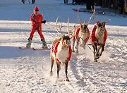 Alaska. Reindeer Races, Adam Verier skiing with the reindeer in downtown Anchorage.