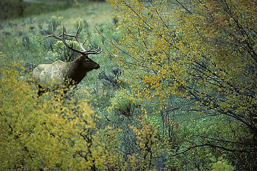 Elk, (Cervus elaphus) bull at edge of autumn colored trees. Fall rut,Yellowstone, Fall.