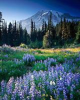 Mount Rainier 14,411¬?ft (4,392¬?m) from wildflower meadows of Paradise, Mount Rainier National Park Washington USA
