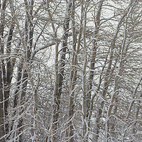 New snow covers branches of cottonwood trees near Bozeman, Montana.