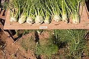 NOVIC fennel trials grown by Josh Volk of Our Table farm in Sherwood, Oregon.