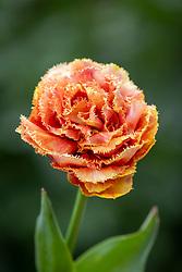 Tulipa 'Sensual Touch'
