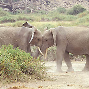 African Elephant, (Loxodonta africana)  Two sub adults trunk to trunk Kenya. Africa.