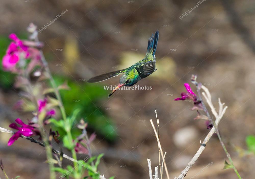 A male Broad-billed Hummingbird (Cynanthus latirostris) in flight in a garden. Tucson