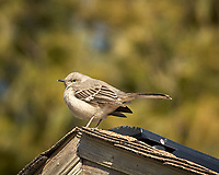 Northern Mockingbird on a roof. Image taken with a Nikon D2xs camera and 80-400 mm VR lens (ISO 200, 400 mm, f/6.7, 1/500 sec).