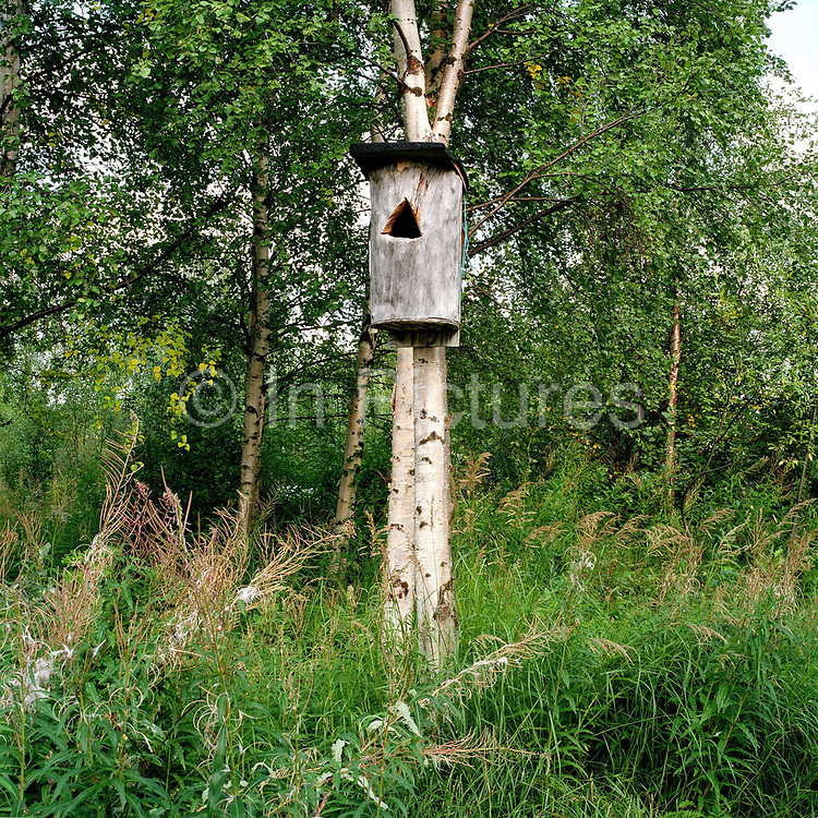 A nesting box for the Common Goldeneye, a medium-sized diving duck, on the banks of Lake Inari, Finnish Lapland. Like other waterfowl, the goldeneye has had an important role in providing nutrition for people of northern Finland. The birds naturally nest in a tree cavity but will readily use nestboxes and this used to be the traditional way of collecting eggs of waterfowl throughout Lapland. The custom was based on the fact that when you remove only some of the eggs from the nest, the female would lay more eggs to replace the lost ones. The eggs were traditionally cooked in hot ash and eaten hardboiled. Collecting Common Goldeneye eggs is no longer officially permitted.