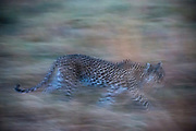 A leopard, Panthera pardus, running in the grass in the evening.