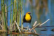 Yellow-headed blackbird on territory