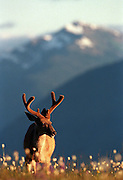 An antlered buck, photographed in a field of wildflowers at Hurricane Ridge in Olympic National Park, stands as a symbol of Northwest wildness. (Dean Rutz / The Seattle Times)