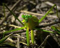 Praying Mantis. Image taken with a Nikon 1 V3 camera and 70-300 mm VR lens (ISO 160, 300 mm, f/11, 1/320 sec).