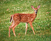 Fawn with Spots.  Image taken with a Leica SL2 camera and 90-280 mm lens
