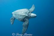 Pacific leatherback sea turtle, Dermochelys coriacea, a critically endangered species, Kei ( or Kai ) Islands, Moluccas, eastern Indonesia, Banda Sea, Southwest Pacific Ocean