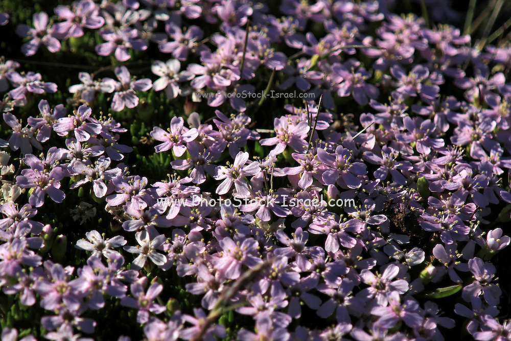 creeping thyme (Thymus praecox subsp. arcticus) AKA Mother-of-Thyme and wild thyme. Photographed in  Iceland, snaefellsnes peninsula