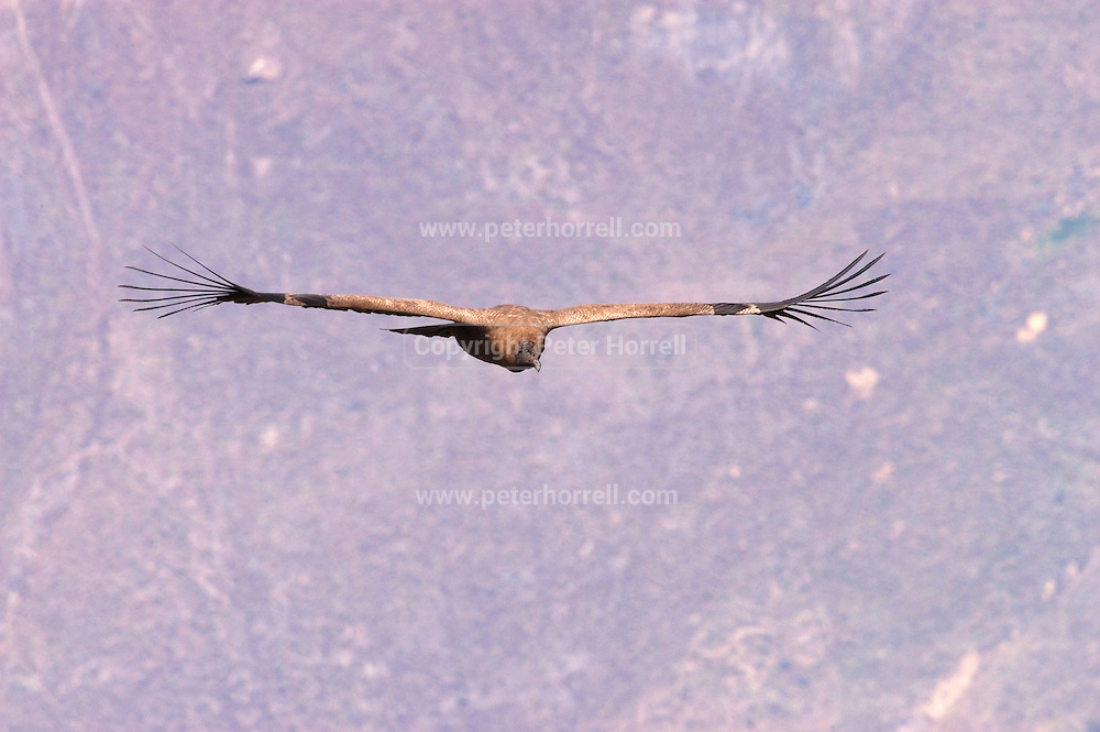 """Peru December 2002: A juvenile Andean Condor (Vultur gryphus) soars over the Colca Canyon in Southern Peru. The Andean Condor has a ICUN conservation status of """"near threatened""""."""