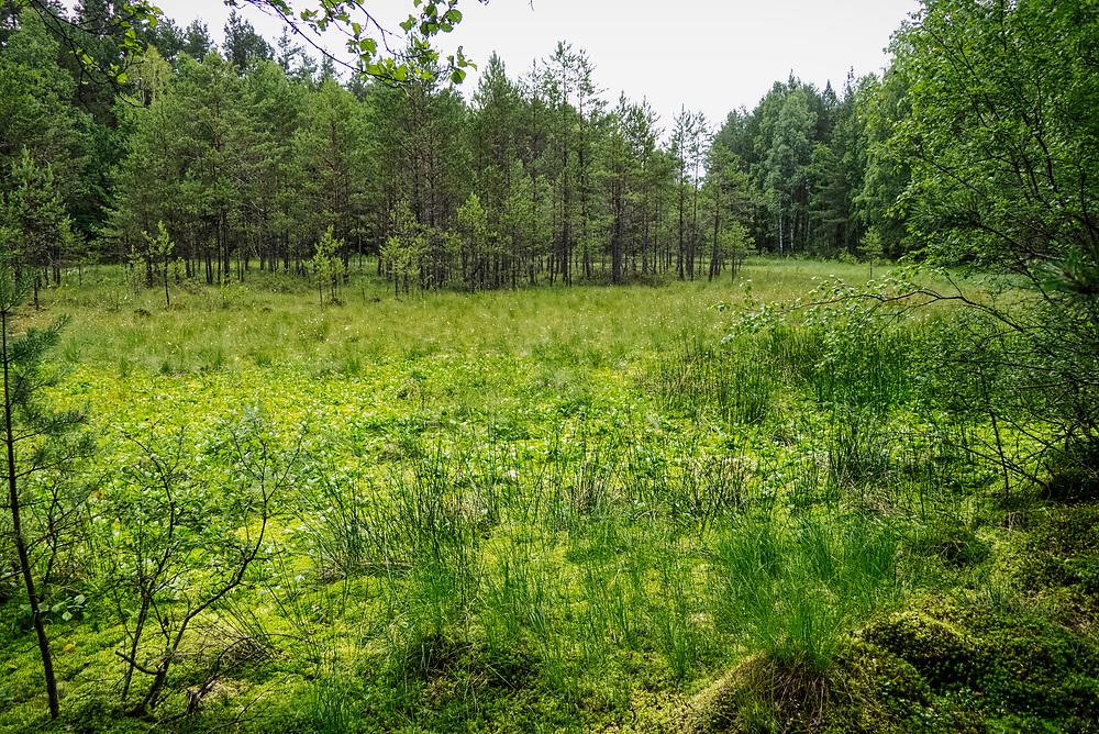 Kaszubksi las w okolicach miejscowości Wdzydze Kiszewskie, zarastające torfowisko.