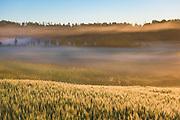 Sunrise colors layers of fog and wheat field golden, near Ērģeme, Latvia Ⓒ Davis Ulands | davisulands.com