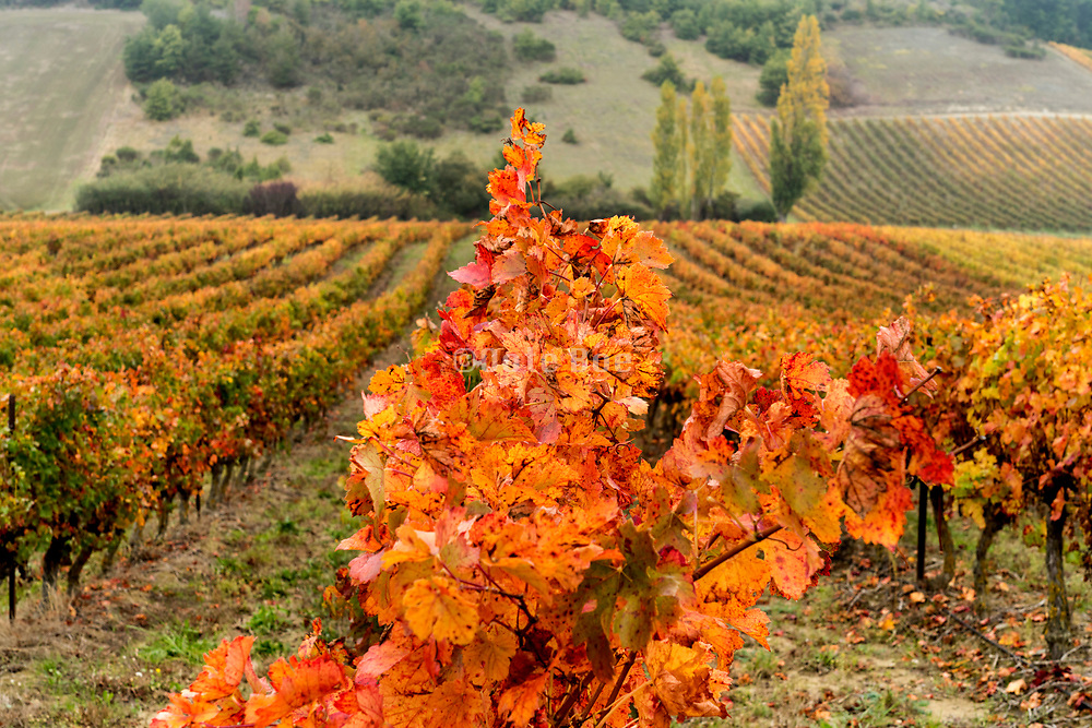 vine leaves during color change in the autumn France