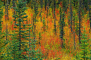 Autumn in a meadow<br /> on the David Thompson Highway, east of Banff National Park<br /> Alberta<br /> Canada