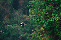 Oriental Pied Hornbill (Anthracoceros albirostris) in flight in the rain forest canopy..Khao Yai National Park, Thailand