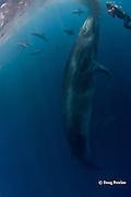 Randy Morse photographs Bryde's whale, Balaenoptera brydei or Balaenoptera edeni, and California sea lions, Zalophus californianus, feeding on baitball of sardines or pilchards, Sardinops sagax, off Baja California, Mexico ( Eastern Pacific Ocean ); MR 397