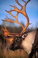 Reindeer bull, Rangifer tarandus, Ammarnas, Vasterbotten, Sweden, Lapland