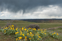 Rain showers fall on the distant hills near a cluster of arrowleaf balsomroot wildflowers.