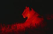 Lioness in Spotlight<br />Panthera leo<br />Hwangi National Park. ZIMBABWE