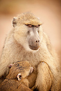 A mother and young baboon in Amboseli National Park, Kenya