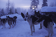 Sled dogs, Flathead Valley, Montana, USA<br />