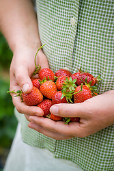 Handful of strawberries - Strawberry 'Florence' - Fragaria