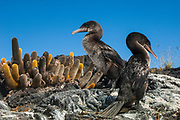 Flightless Cormorants (Phalacrocorax harrisi) and Lava Cactus (Brachycereus nesioticus)<br /> Fernandina Island. Western Isles of Galapagos Islands<br /> ECUADOR.  South America<br /> These are the largest of the world's 29 cormorant species and the only one that has lost the power of flight. They live very locally to the shores of Isabela and Fernandina Islands and although they can not fly still retain vestigial wings which help them to balance when jumping from rock to rock. As they do not produce much oil to waterproof their wings they must dry out their wings when they return to shore. Nests are constructed of seaweed, flotsam and jetsam and are never more than a few meters from shore. Usually up to 3 eggs are layed.<br /> ENDEMIC TO GALAPAGOS