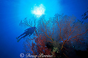 diver and sea fan or gorgonian soft coral, Melithaea sp., Merir Island, Southwest Islands, Palau, Micronesia ( Western Pacific Ocean ) MR 136