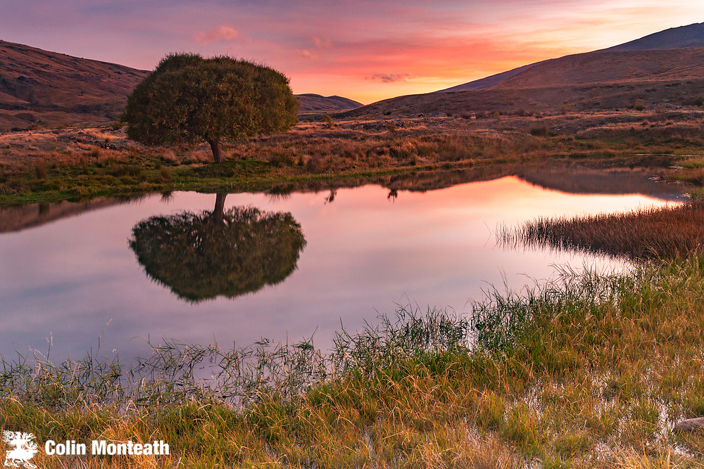 Lone willow tree, reflection in pond, sunset, The Nevis, Otago, New Zealand
