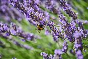 Hommel bij de lavendel | Bumblebee on the lavender