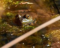 Kermit the Green Bullfrog. Image taken with a Nikon 1 V3 camera and 70-300 mm VR lens.