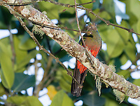Female Golden-headed Quetzal, Pharomachrus auriceps, eating an insect in Tandayapa Valley, Ecuador