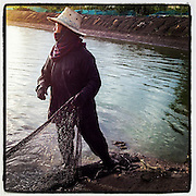 14 MAY 2013 - BANGTATHEN, SAPHUNBURI, THAILAND:  A worker on a shrimp hauls in nets during a harvest. The farm has not yet been hit by EMS. Early mortality syndrome, better known as EMS -- or Acute Hepatopancreatic Necrosis Syndrome, (AHPNS) as scientist refer to it -- has wiped out millions of shrimp in  Thailand, the leading shrimp exporter in the world. EMS first surfaced in 2009 in China, where farmers noticed that their prawns had begun dying en-masse, without any identifiable cause. By 2011, shrimp farms in China's Hainan, Guangdong, Fujian and Guangxi provinces were suffering losses as great as 80%. Farmers named the disease based on its immediate effect - Early Mortality Syndrome. After China, EMS devastated shrimp farms in Vietnam, Malaysia. The province of Tra Vinh, Vietnam, saw 330 million shrimp die in the month of June 2011 alone. In Malaysia, where EMS first emerged in 2010, commercial prawn production declined by 42%. EMS hit Thailand in early 2013. As a result of early die offs in Thailand many farmers left their shrimp ponds empty and stores that sell shrimp farm supplies have reported up to 80% drop in business as shrimp farm owners have cut back on buying.       PHOTO BY JACK KURTZ
