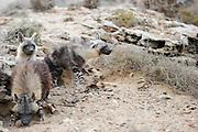 Brown hyena (Parahyaena brunnea oder Hyaena brunnea) adult and pups outside their den, Tsau-ǁKhaeb-(Sperrgebiet)-Nationalpark, Namibia | Schabrackenhyäne (Parahyaena brunnea oder Hyaena brunnea), kurz nach Sonnenuntergang kommt die Mutter (Alaika) zu ihrem Bau und untersucht jede Veränderung des Tages. Erst wenn alles in Ordnung ist ruft sie die Jungtiere aus dem Bau. Sperrgebiet National Park, Namibia