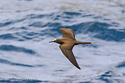 A Brown Noddy Tern, Anous stolidus, skims the surface of the ocean in the Galapagos Islands, Ecuador.