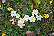 Spring and summer hedgerow wildflower Primrose, Primula vulgaris, Lesser Celandine, and grass  in Cornwall, England, UK