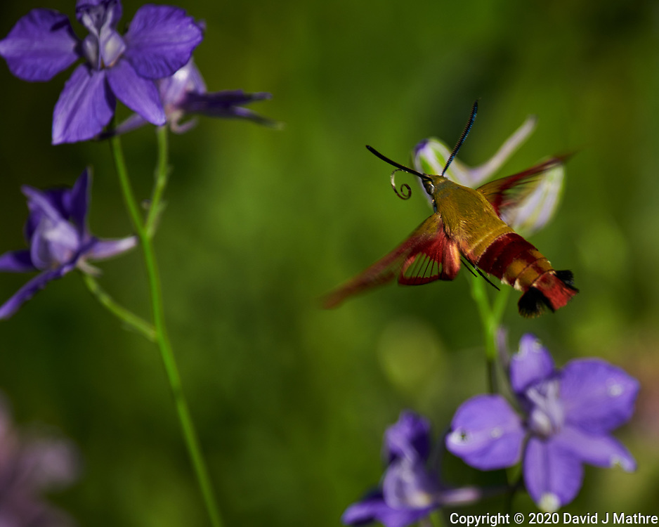 Hummingbird Clearwing Moth (Hemaris thysbe). Image taken with a Nikon D850 camera and 70-300 mm VR lens