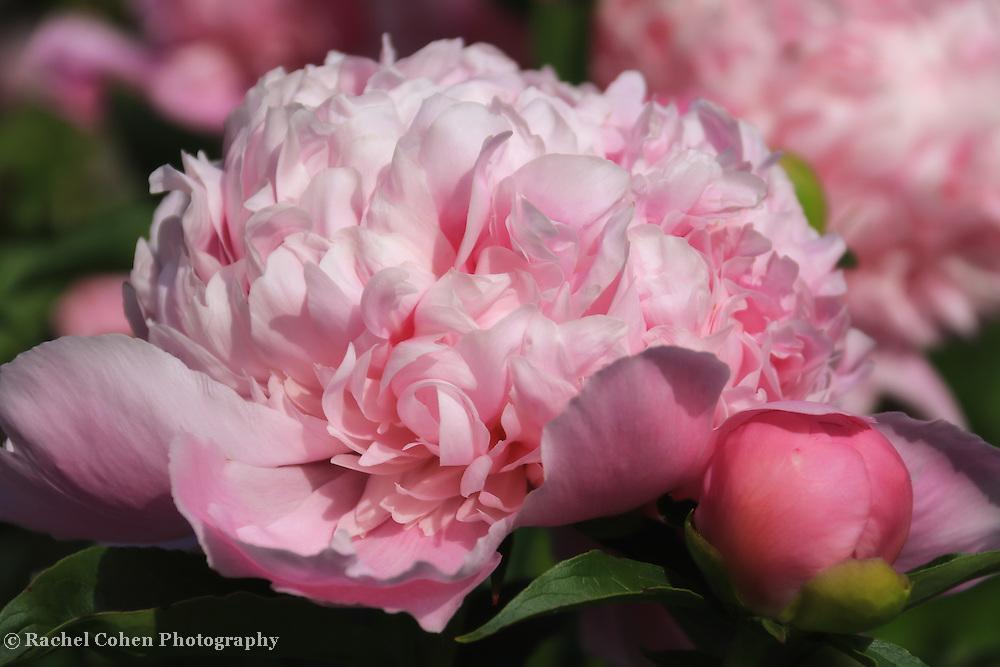 """My Sweet Lady"" <br /> <br /> Beautiful pink peony!"