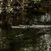 20151120 Everglades  Florida USA <br /> Sawgrass Recreational Park<br /> Airboat träskbåt<br /> Alligatorer våtmarker träsk<br /> <br /> FOTO : JOACHIM NYWALL KOD 0708840825_1<br /> COPYRIGHT JOACHIM NYWALL<br /> <br /> ***BETALBILD***<br /> Redovisas till <br /> NYWALL MEDIA AB<br /> Strandgatan 30<br /> 461 31 Trollhättan<br /> Prislista enl BLF , om inget annat avtalas.