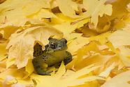 Western Toad, Bufo boreas