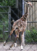 Woodland Park Zoo's baby giraffe Hasani's special shoes didn't prevent him from breaking into brief gallops. (Ken Lambert / The Seattle Times)